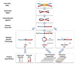 Chromosome conformation capture (Wikipedia)